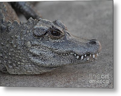 Chinese Alligator Metal Print by Ruth Jolly