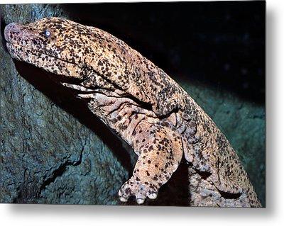 Chinese Giant Salamander Metal Print by Wernher Krutein