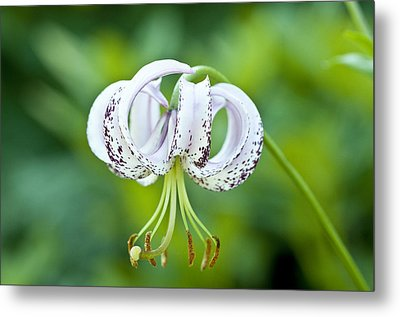 Metal Print featuring the photograph Chinese Lily by Lana Enderle