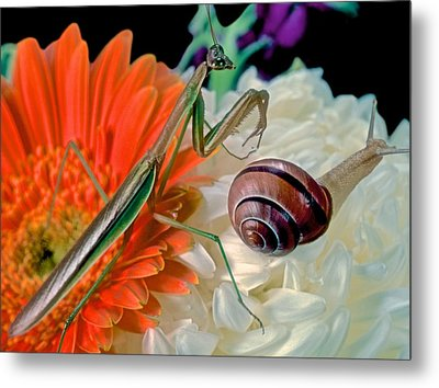Chinese Praying Mantis Looking For Prey Metal Print by Leslie Crotty