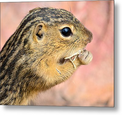 Chipmunk 2 Metal Print by Robin Williams