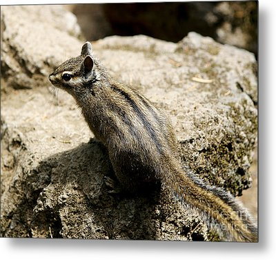 Metal Print featuring the photograph Chipmunk On A Rock by Belinda Greb