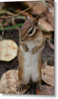 Metal Print featuring the photograph Chipmunk by Paula Brown