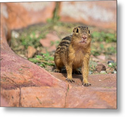 Chipmunk Metal Print by Robin Williams