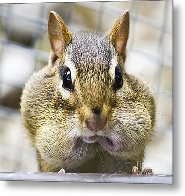 Metal Print featuring the photograph Chipmunk With It's Mouth Full Bong by Ricky L Jones