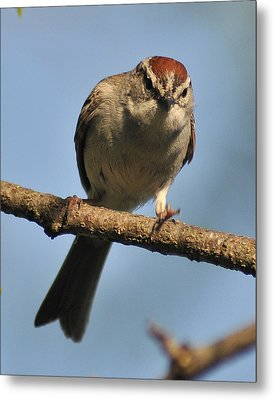Chipping Sparrow 265 Metal Print