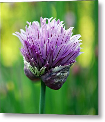 Metal Print featuring the photograph Chive Blossom by Kjirsten Collier