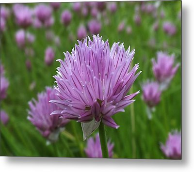 Metal Print featuring the photograph Chive by Gene Cyr