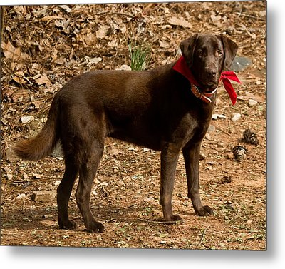 Metal Print featuring the photograph Chocolate Lab by Robert L Jackson