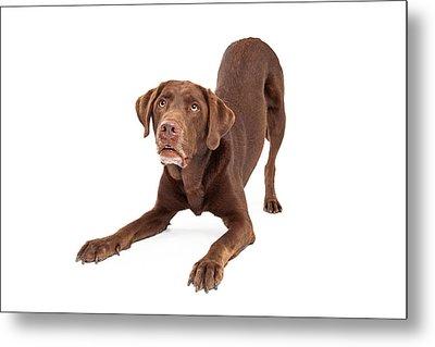 Chocolate Labrador Retriever Dog In Downdog Postion Metal Print by Susan Schmitz
