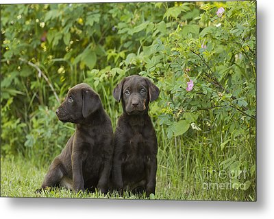 Chocolate Labrador Retriever Puppies Metal Print by Linda Freshwaters Arndt