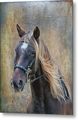 Chocolate Rocky Mountain Horse Metal Print by Peter Lindsay