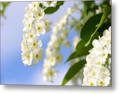 Choke Cherry In Bloom Metal Print by Gary Whitton
