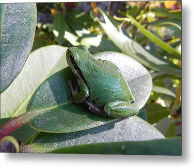 Metal Print featuring the photograph Chorus Frog On A Rhodo by Cheryl Hoyle