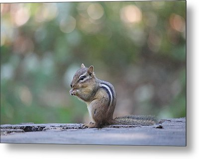 Chowing Chipmunk Metal Print