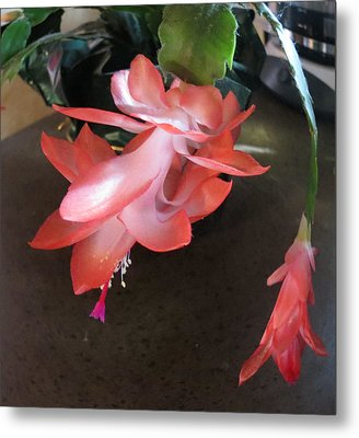 Christmas Cactus Bloom Metal Print