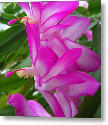 Christmas Cactus Flower Metal Print by Aimee L Maher Photography and Art Visit ALMGallerydotcom