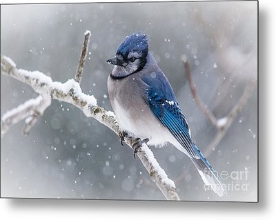 Christmas Card Bluejay Metal Print