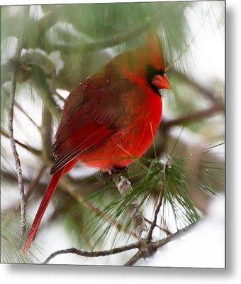 Christmas Cardinal Metal Print by Kerri Farley