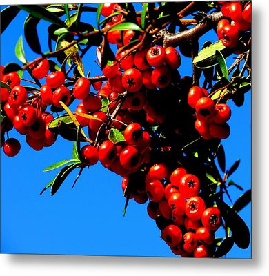 Metal Print featuring the photograph Christmas Holly In Texas by David  Norman