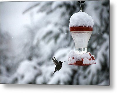 Christmas Hummingbird Metal Print