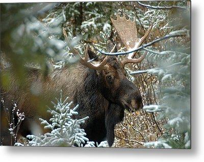 Christmas Moose Metal Print by Lee Kirchhevel
