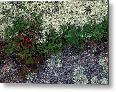 Christmas Moss Metal Print by Harold E McCray