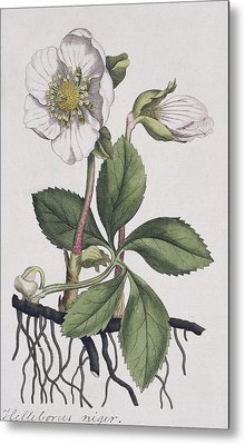 Christmas Rose, Historical Artwork Metal Print by Science Photo Library