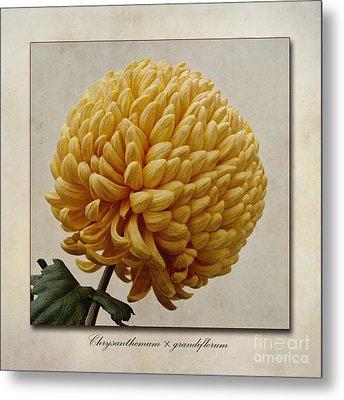 Chrysanthemum Grandiflorum Yellow Metal Print by John Edwards