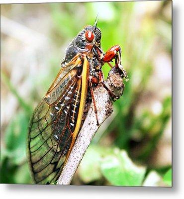 Cicada Metal Print by Candice Trimble