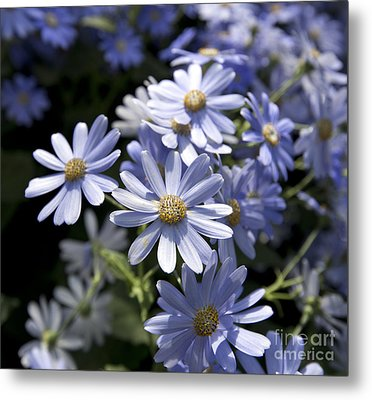 Cineraria 1225 Metal Print by Terri Winkler