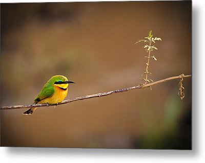 Cinnamon-chested Bee-eater Metal Print by Adam Romanowicz