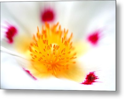 Metal Print featuring the photograph Cistus by Rebeka Dove