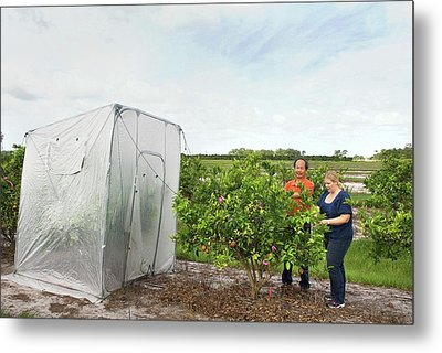 Citrus Greening Disease Treatment Metal Print by Marco Pitino/us Department Of Agriculture