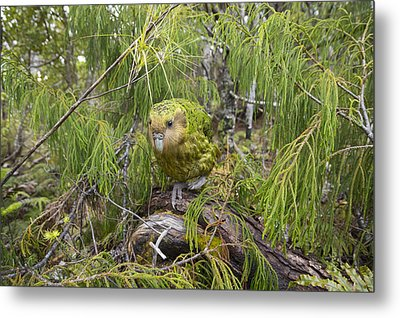 Ckakapo Male In Forest Codfish Island Metal Print by Tui De Roy
