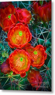 Claret Cup Metal Print by Inge Johnsson
