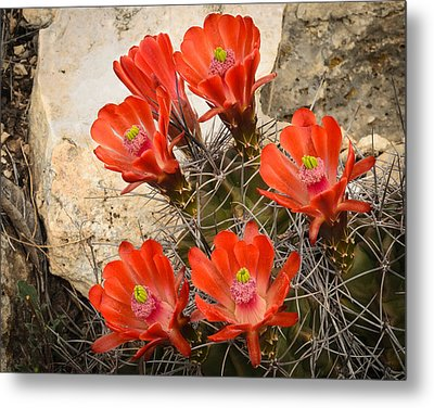 Claret Cups Metal Print by Thomas Pettengill
