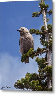 Clark's Nutcracker In A Fir Tree Metal Print