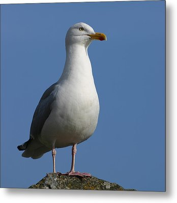 Metal Print featuring the photograph Classical Seagull by Karo Evans