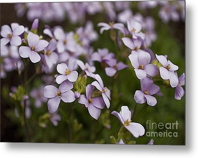 Metal Print featuring the photograph Claude's Aubrieta by Sandi Mikuse
