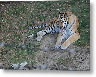 Clean Tiger Metal Print
