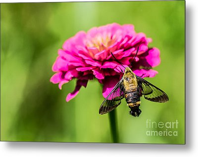Clearwing Moth Metal Print by Debbie Green