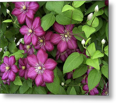 Clematis Metal Print by Penny Lisowski