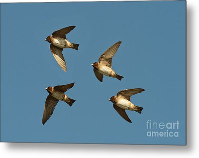 Cliff Swallows Flying Metal Print by Anthony Mercieca