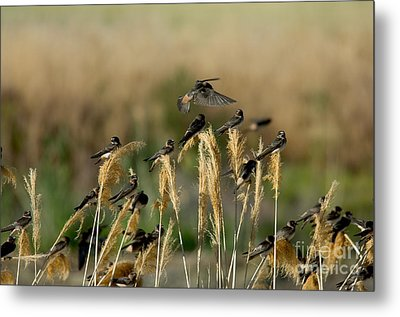 Cliff Swallows Perched On Grasses Metal Print by Anthony Mercieca