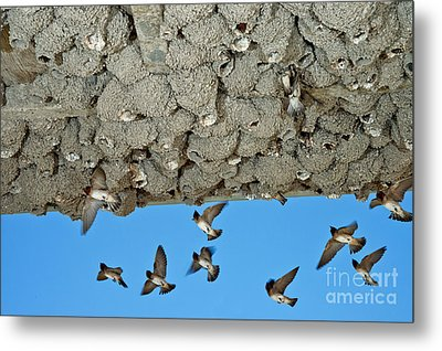Cliff Swallows Returning To Nests Metal Print by Anthony Mercieca