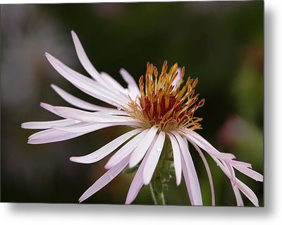 Metal Print featuring the photograph Climbing Aster by Paul Rebmann