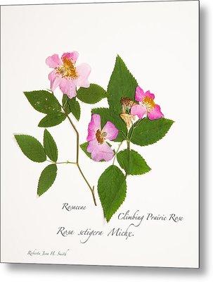 Climbing Prairie Rose  Metal Print