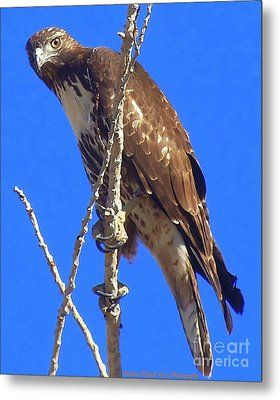 Hawk Close Up  Metal Print