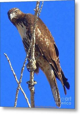 Hawk Close Up  Metal Print by Bobbee Rickard